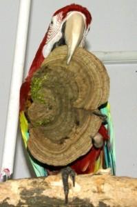 древесные грибы в рационе попугаев