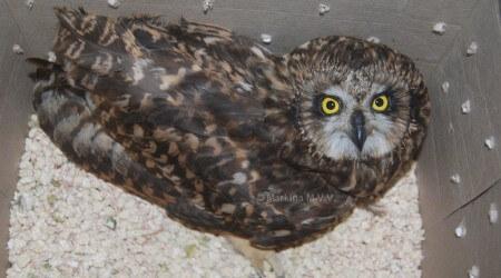 нашли сову, что делать, с хищной птицей, куда пристроить, реаблилитация, волонтеры.