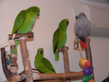 попугаи Нины Суринамской, желтолобые амазоны, жако