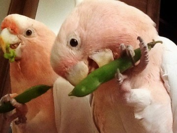 опыт приручения попугаев какаду к овошам и фруктам