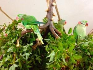 александрийские попугаи на свежих ветках