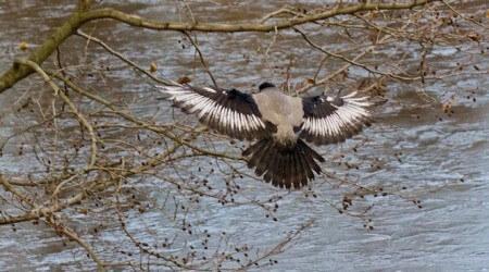 белое перо у ворон, грачей, галок, что это. лейкизм пера