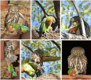 https://birds.vc/wp-content/uploads/2016/09/sichik_poimal_popugay-300x265.png