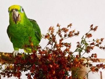 естественные рационы для птиц. травы и сорняки для попугаев