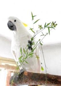 кормление какаду. травы в рационах попугаев