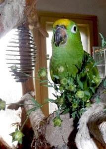 корм для попугая амазона. Цветы в рационах попугаев
