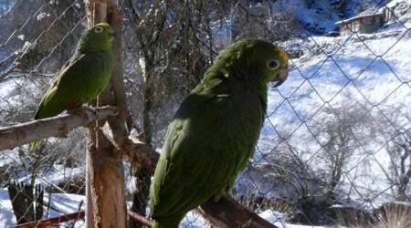 попугаи амазоны, профилактика проблем с пером зимой
