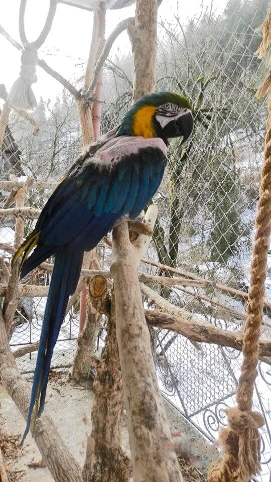 сине-желтый ара Ara ararauna Рюша, самоощипывание,