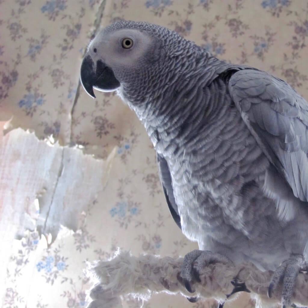 попугай жако и подранные обои