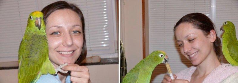 разведение попугаев суринамских желтолобых амазонов (Amazona ochrocephala) Нина Арзамасцева; птенец разведения Нины Арзамасцевой