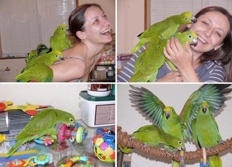 ручные птенцы попугаев амазонов Нины Суринамской - выкормленные совместно с родительскими птицами выкормыши самостоятельные птицы
