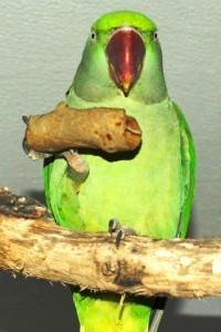 как самостоятельно приготовить лакомтсво для попугая, блинчики,