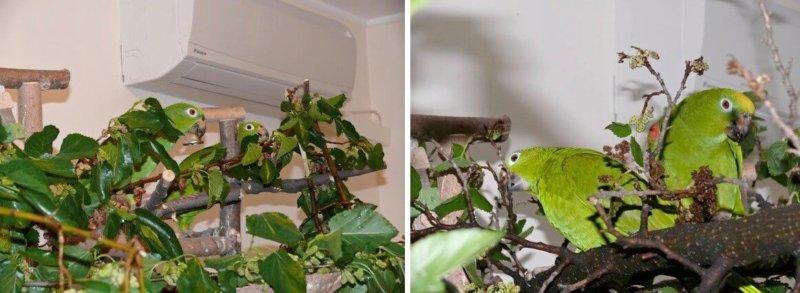 кормление попугаев суринамских желтолобых амазонов, веточный корм, шелковицы, тут, Нина Арзамасцева