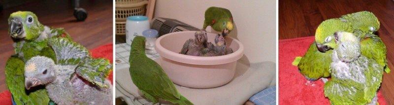разведение попугаев суринамских желтолобых амазонов (Amazona ochrocephala) Нина Арзамасцева; самец и самка следят за птенцами
