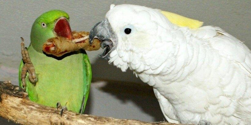 лакомства для птиц готовим сами, рецепты из журнала Попугаи