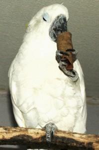 гибрид желтохохлого какаду и какаду альба, лакомство