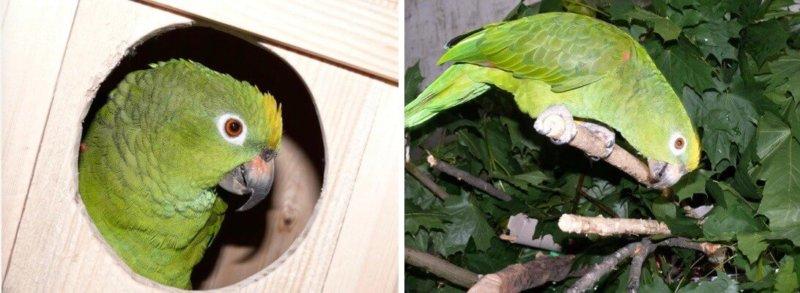 размножение попугаев суринамских желтолобых амазонов Нина Аразамасцева, самец и самка у гнездового домика