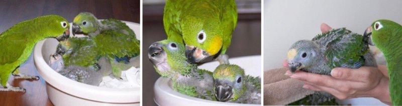 размножение суринамских амазонов, совместное воспитание птенцов попугаев человеком и родитетельскими птицами