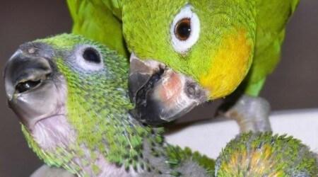 размножение попугаев суринамских желтолобых амазонов в условиях неволи, Нина Арзамасцева, Киев, Украина,