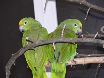 разведение попугаев суринамских желтолобых амазонов (Amazona ochrocephala) Нина Арзамасцева; самец и самка, агрессия, защита территории,