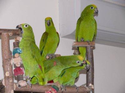 разведение попугаев суринамских желтолобых амазонов (Amazona ochrocephala) птенцы слетки и взрослые птицы