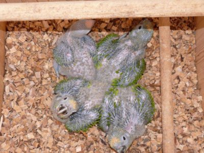 разведение попугаев суринамских желтолобых амазонов (Amazona ochrocephala) Нина Арзамасцева; птенцы в гнездовом домике