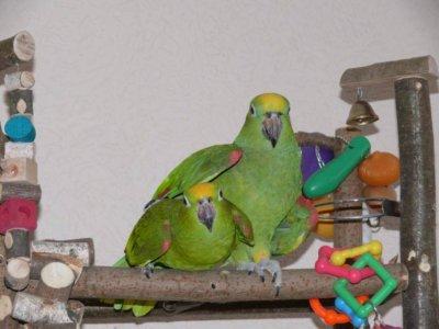разведение попугаев суринамских желтолобых амазонов (Amazona ochrocephala) Нина Арзамасцева; спаривание пары,