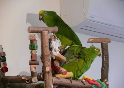 разведение попугаев суринамских желтолобых амазонов (Amazona ochrocephala) птенцы слетки и взрослые птицы Нины Арзамасцевой родительские птицы, территориальное поведение и агрессия
