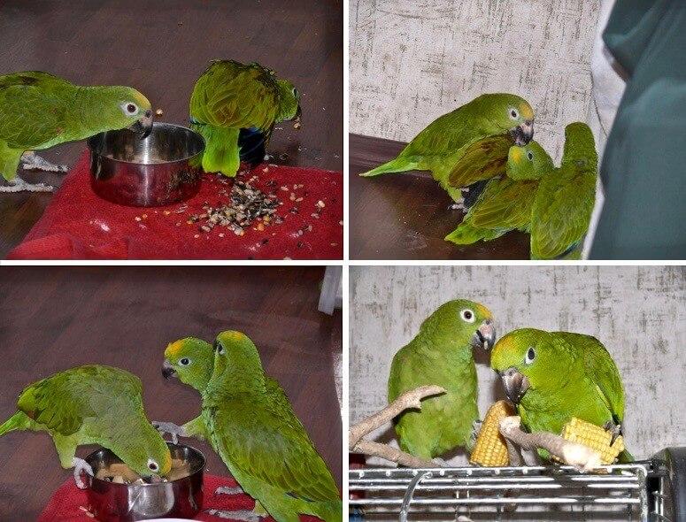 разведение попугаев амазонов, родители попугаи обучают птенцов слетков самостоятельно питаться, зерновой смесью, овощами и фруктами