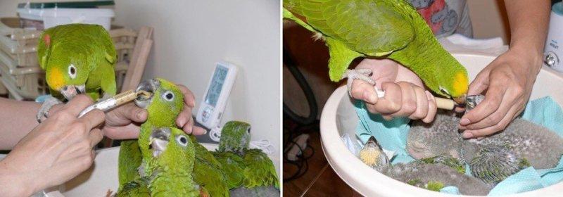 совместное с родительскими птицами выкармливание птенцов попугаев суринамских желтолобых амазонов