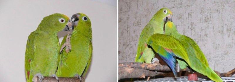 разведение попугаев суринамских желтолобых амазонов (Amazona ochrocephala) Нина Арзамасцева; птенцы и родители
