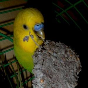 нужна ли глина для волнистых попугаев