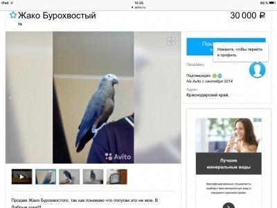 срочно продам ручного попугая бурохвостого жако