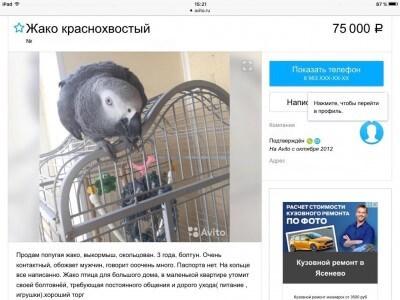 срочно продам ручного говорящего попугая выкормыша жако авито