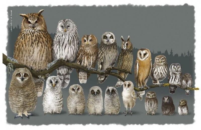 птенцы разных видов сов как определить