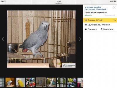срочно продам говорящего попугая жако