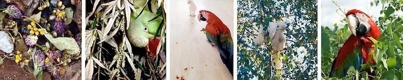 кормление попугаев ара, какаду, александрийских, ветки, зелень,