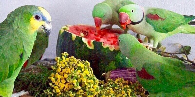 кормление попугаев, арбуз, лекартвенные травы, пижма, ветки, баклажан
