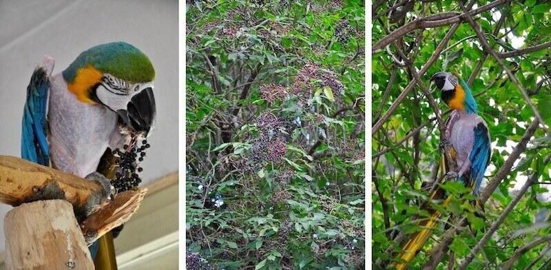 ягоды бузины для кормление попугая ара