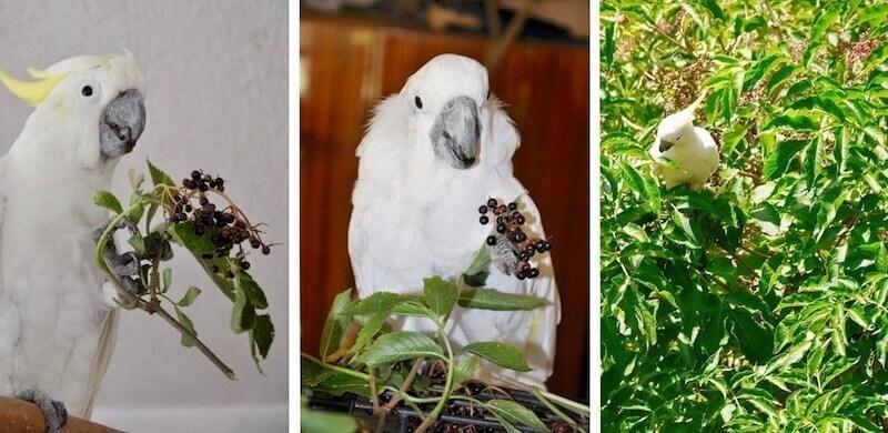 кормление попугаев амазонов ягодами бузины
