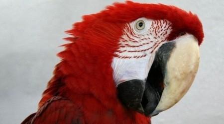 что делать если попугай орет?