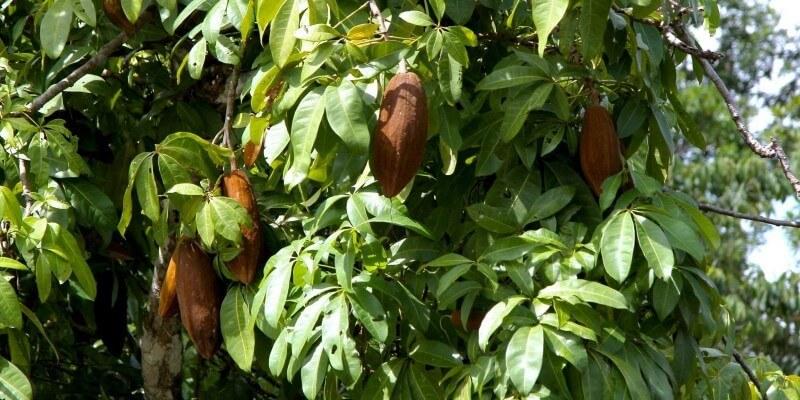 Дикорастущее дерево какао в Амазонии.