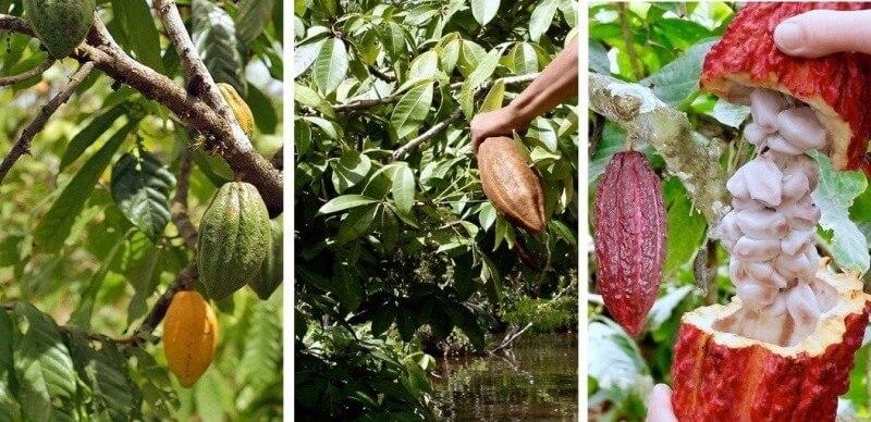 Плоды какао разной степени зрелости.