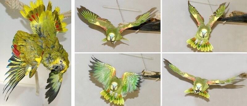 попугаи амазоны, содержание, приручение, полеты дома