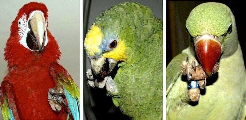 Зеленокрылый ара, венесуэльский амазон, молодой александрийский попугай с удовольствием едят сухие какао-бобы.