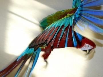 попугай ара зеленокрылый, содержание, кормление, приручение, обучение