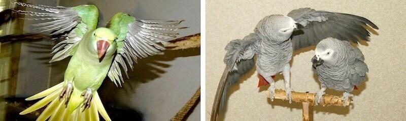 попугаи жако самец и самка и александрийский попугай