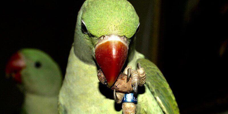 птенцы александрийских попугаев едят какао бобы