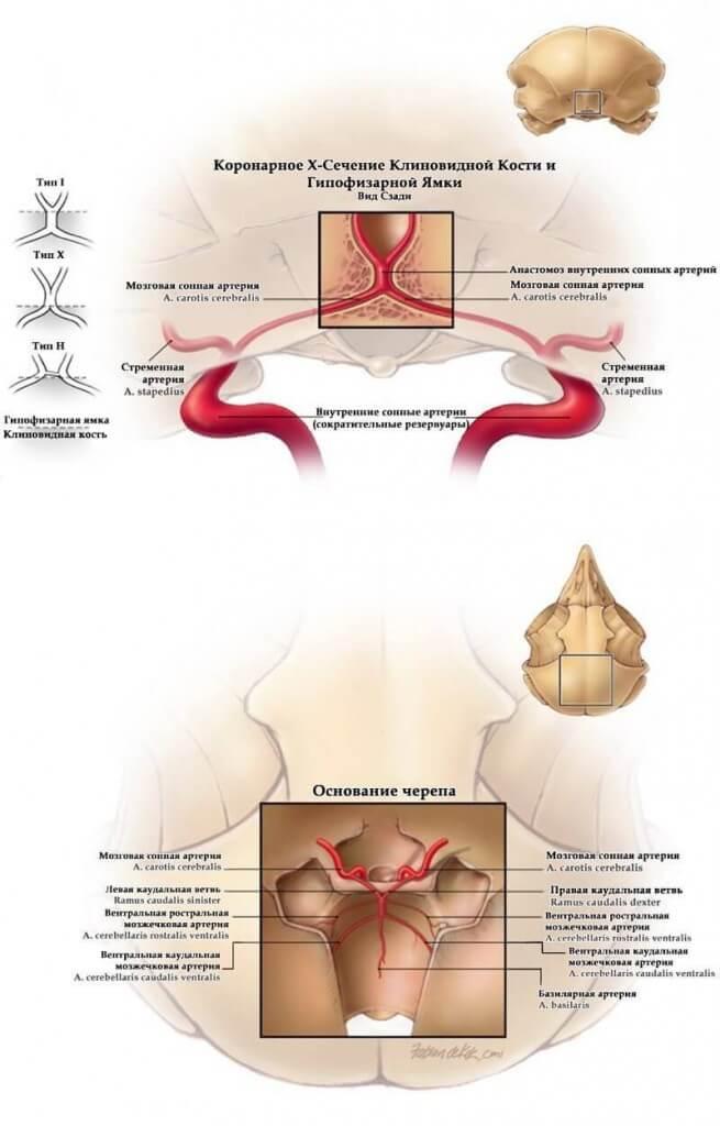 коронарное х сечение клиновидной кости совы и гипофизарной ямки
