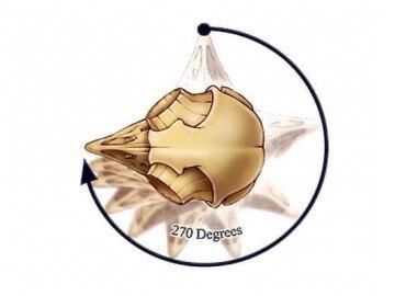 особенности анатомии сов